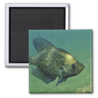 Tipo de pez negro imán cuadrado