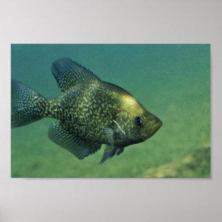 Tipo de pez negro póster