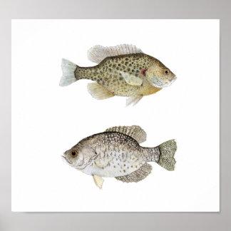 Tipo de pez negro y Sunfish de Redear Póster