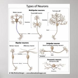Tipos de neurona, etiquetados diagrama póster