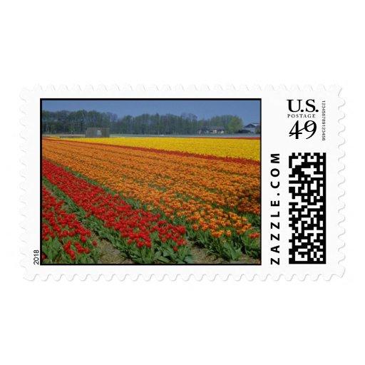 Tiras multicoloras rojas de tulipanes, flo franqueo