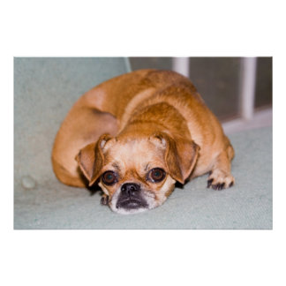 Tired pug. poster