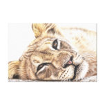 Tired Young Lion Gallery Wrapped Canvas