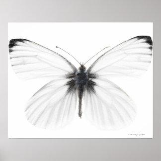 Tiro del estudio de la mariposa blanca agudo-vetea póster