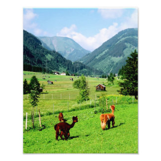 Tirol Llamas Photo Print