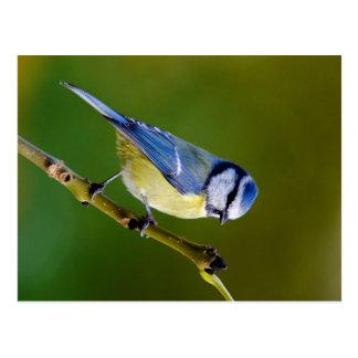 Tit azul en otoño tarjeta postal