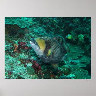 Titan Trigger fish Poster