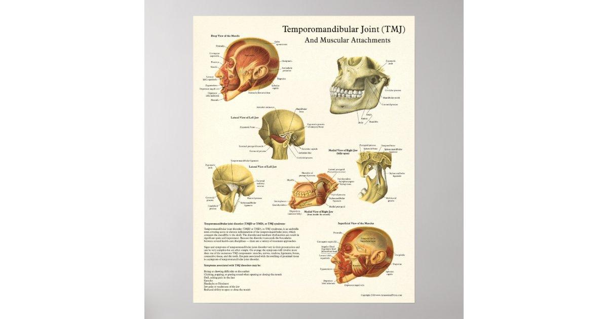 TMJ Anatomy and Muscular Attachments Poster | Zazzle.com