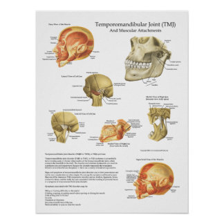 TMJ Anatomy Muscular Attachments Chart Doctor