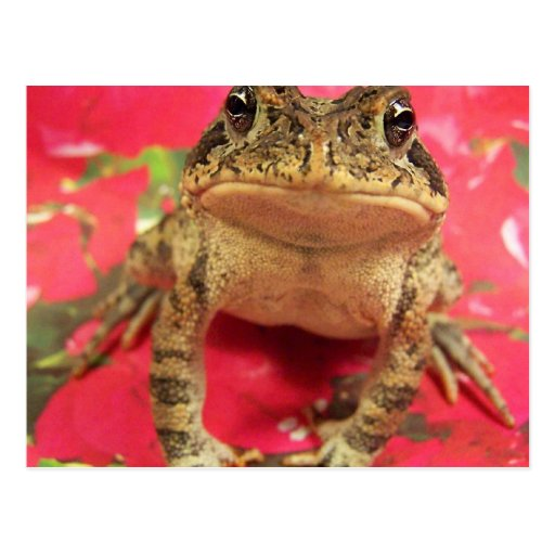 Toad frog standing up against bougainvillea back post card
