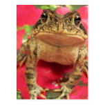 Toad frog standing up against bougainvillea back postcards