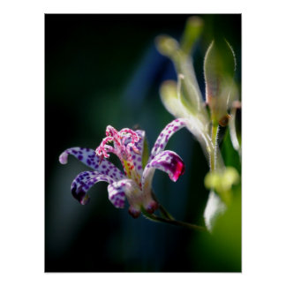 Toad Lily Trycitris Posters