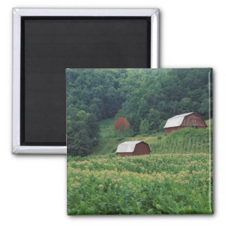 Tobacco crop and pair of red tobacco barns near magnet