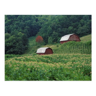 Tobacco crop and pair of red tobacco barns near postcard
