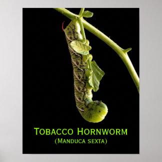 Tobacco Hornworm , (Manduca sexta) Posters