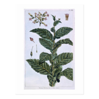 Tobacco plant, plate 7, from 'Collection Precieuse Postcard