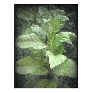 Tobacco Plant Postcard