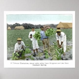 Tobacco plantation print