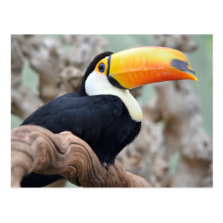 Toco toucan on branch postcard