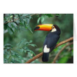 TOCO TOUCAN PHOTO FULL COLOR GREETING CARD