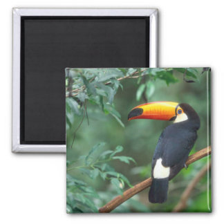 TOCO TOUCAN PHOTO FULL COLOR 2 INCH SQUARE MAGNET