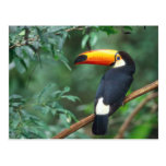 TOCO TOUCAN PHOTO FULL COLOR POSTCARD