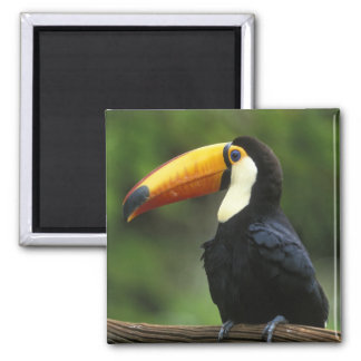Toco Toucan, (Ramphastos toco), Iguacu National Magnet