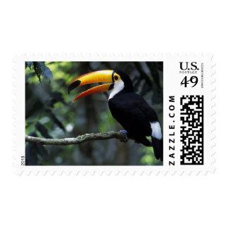 Toco Toucan (Ramphastos toco), Iguazu Falls, Stamp