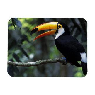 Toco Toucan (Ramphastos toco), Iguazu Falls, Rectangular Photo Magnet