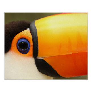 Toco Toucan (Ramphastos toco) is the largest Poster