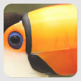 Toco Toucan (Ramphastos toco) is the largest Square Sticker