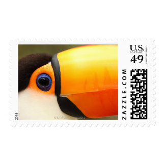 Toco Toucan (Ramphastos toco) is the largest Stamp