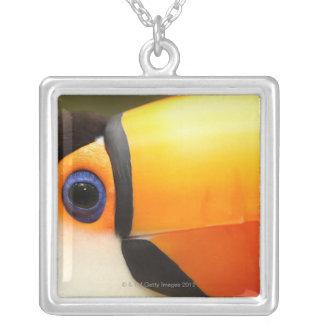 Toco Toucan (toco de Ramphastos) es el más grande Collar Plateado