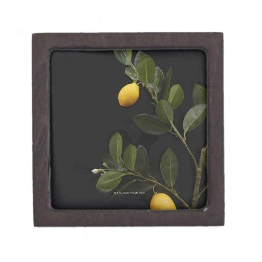 Todavía limones en su rama cajas de recuerdo de calidad