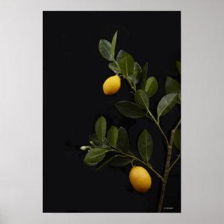 Todavía limones en su rama póster