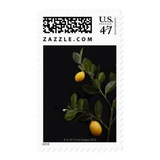 Todavía limones en su rama sello postal