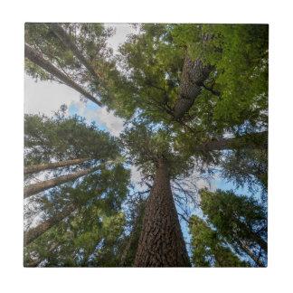 Toldo de árbol de abeto de douglas azulejo cuadrado pequeño