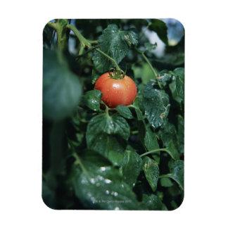 Tomate Imanes Flexibles