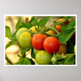 Tomates de cereza verdes y rojos en la vid póster