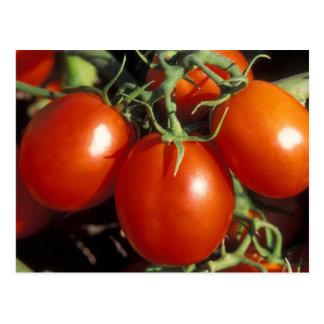 Tomates rojos postal