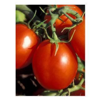 Tomates rojos postales