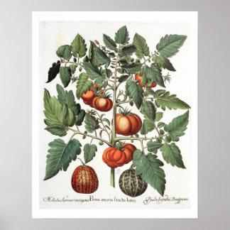 Tomates y melones: luteo del fructu de los amoris  posters