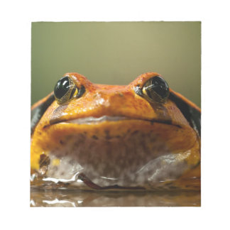 Tomato frog in water scratch pads