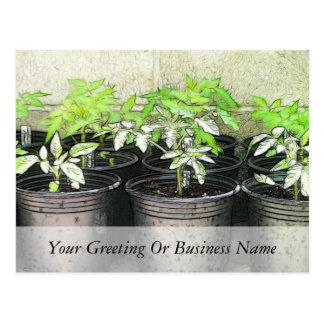 Tomato Seedlings In Nursery Pots Postcard