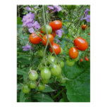 Tomatoes and Purple Flowers Photography Poster