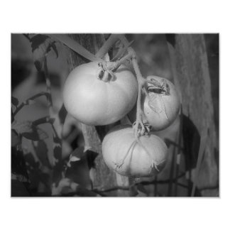 Tomatoes In Black And White Poster