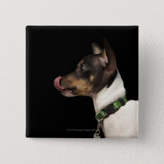 Tongue out of black and White Rat Terrier Button