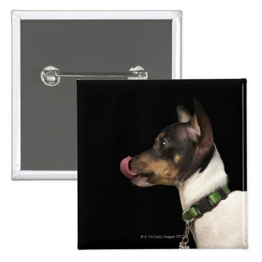 Tongue out of black and White Rat Terrier 2 Inch Square Button