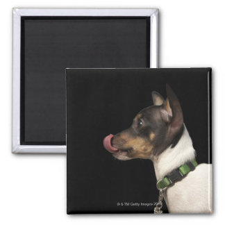 Tongue out of black and White Rat Terrier Magnet