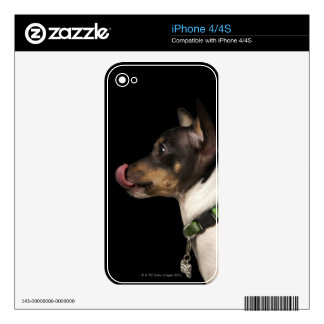 Tongue out of black and White Rat Terrier Skin For iPhone 4